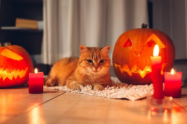 Festa di halloween. gatto rosso che si siede dalle zucche intagliate sulla cucina. jack-o-lantern.