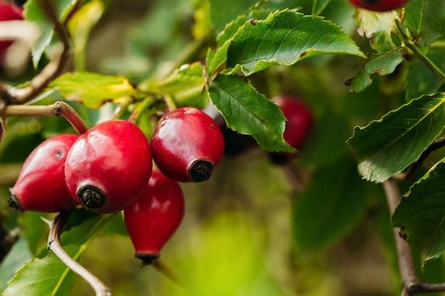 Fianchi maturi rossi in natura