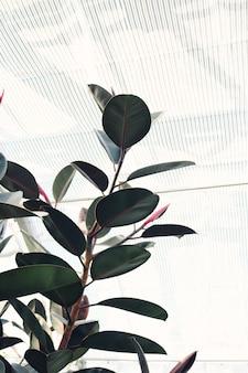 Ficus elastica con grandi foglie