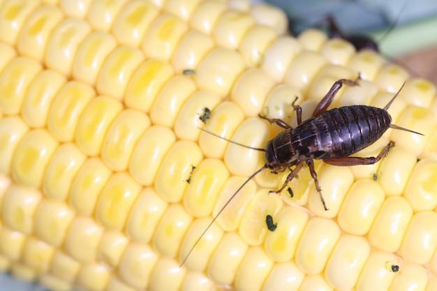 Field cricket, gryllus