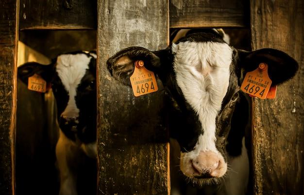 Fienile con mucche in bianco e nero con tag numerati