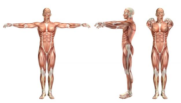 Figura medica 3d che mostra abduzione orizzontale e adduzione della spalla