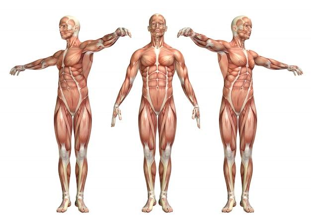 Figura medica 3d che mostra la rotazione del tronco