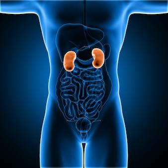 Figura medica maschio 3d con i reni evidenziati