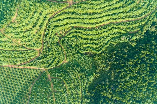 Fila del giardino della piantagione della palma sull'alta montagna in phang nga tailandia