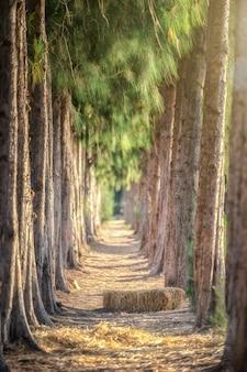 Fila di alberi di pino nel parco.