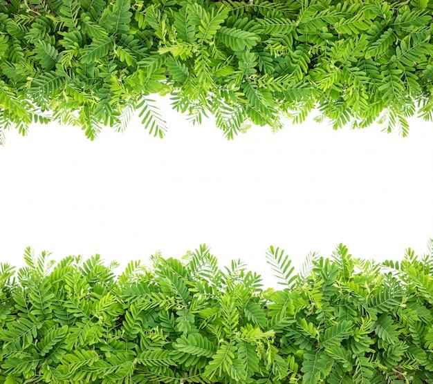 Fila di giovani rami di albero verdi del tamarindo