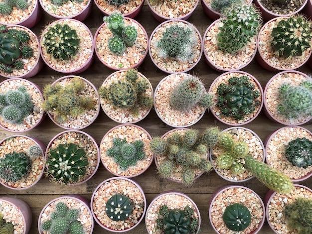Fila di piante di cactus nel negozio di fiori