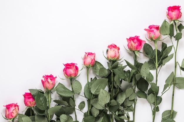 Fila di rose fresche con foglie verdi