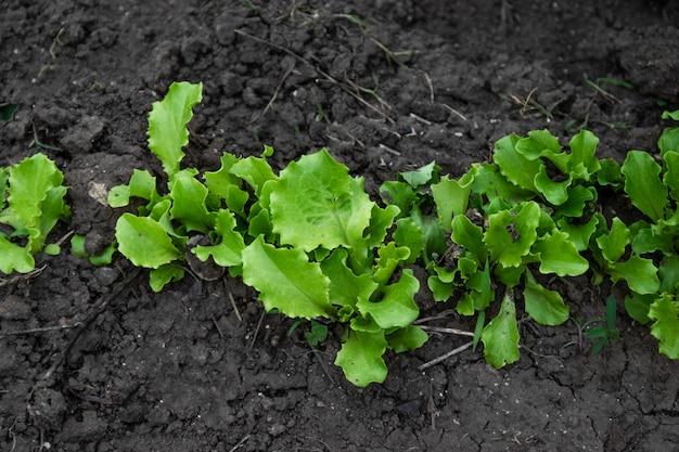 Filari di piante di lattuga fresca in campagna