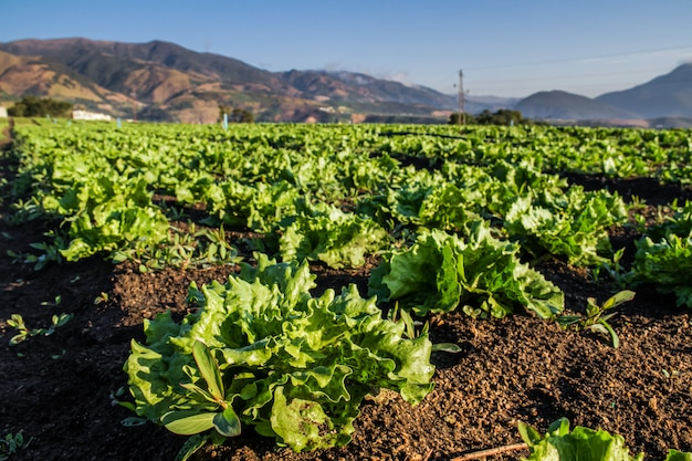 File delle piante fresche della lattuga su un campo fertile. campo di lattuga.