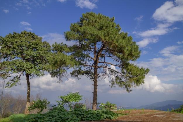 Filiale del pino montano