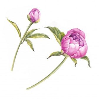 Filiale delle peonie rosa isolata per il disegno