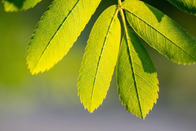 Filiale di sorbo con foglie verdi e lo spazio della copia.