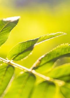 Filiale di sorbo con foglie verdi e lo spazio della copia