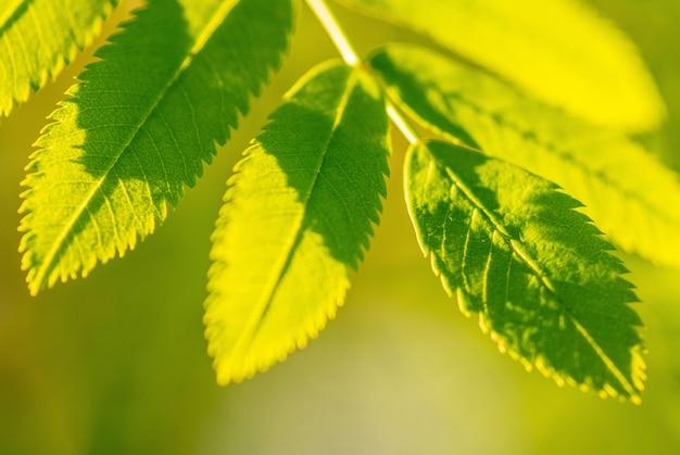 Filiale di sorbo con foglie verdi