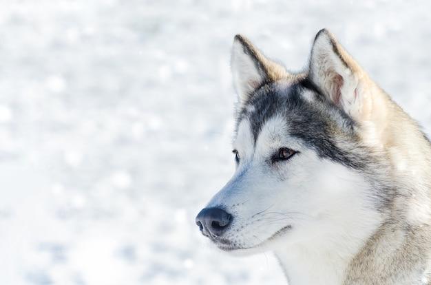 Fine all'aperto del cane del husky siberiano sul ritratto all'aperto del fronte
