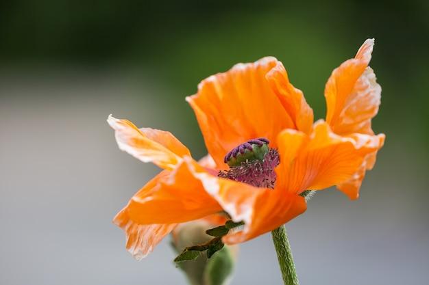 Fine arancio di somniferum del papavero del fiore del papavero su