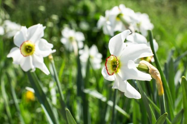 Fine bianca del fiore del narciso su