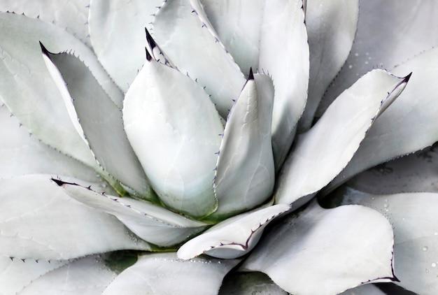 Fine blu del succulente su, vista superiore, sfondo naturale minimalista