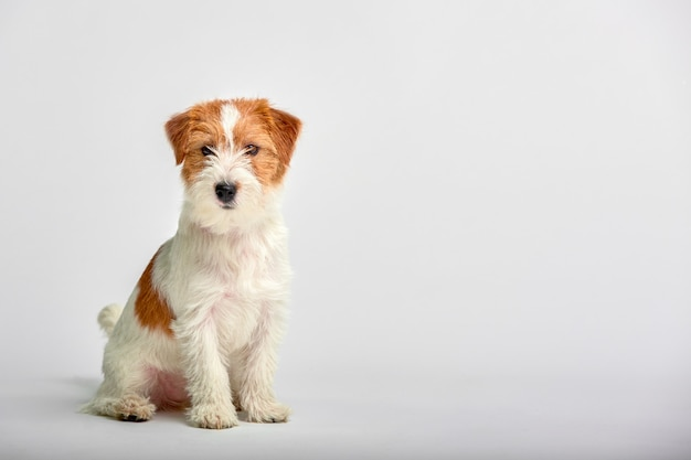 Fine del cucciolo di jack russell terrier su su bianco, copyspace. colpo dello studio