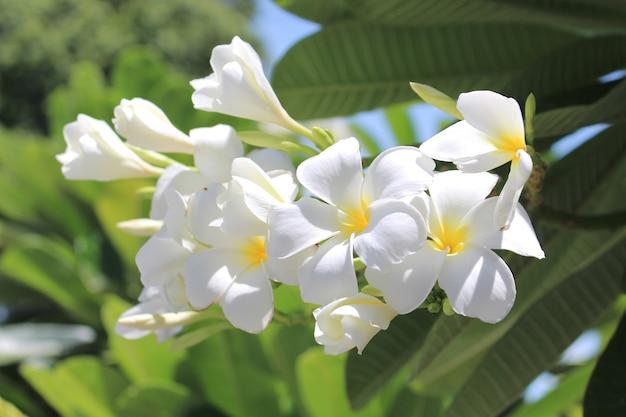 Fine del fiore bianco di leelawadee su che appende sull'albero