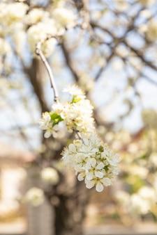 Fine del fiore di melo della primavera su