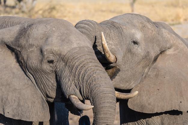Fine dell'elefante africano su, bevente. safari della fauna selvatica nel chobe national park, destinazione di viaggio in botswana, africa.