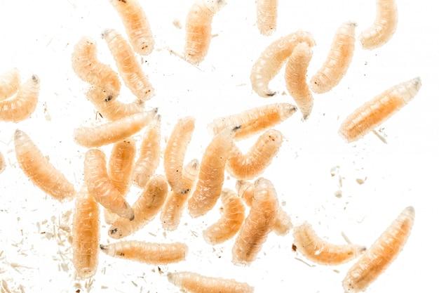 Fine della larva della mosca della larva in su isolata su bianco. esca per la pesca