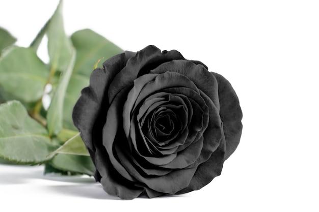 Fine della rosa del nero su su un fondo isolato bianco, fuoco molle