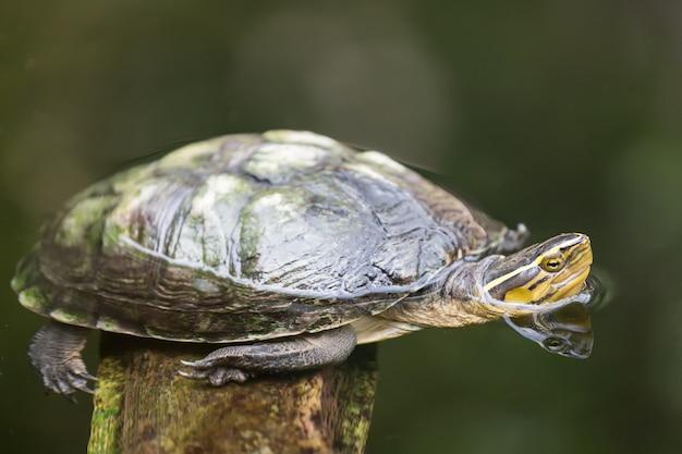 Fine di immagine della tartaruga in su nell'acqua
