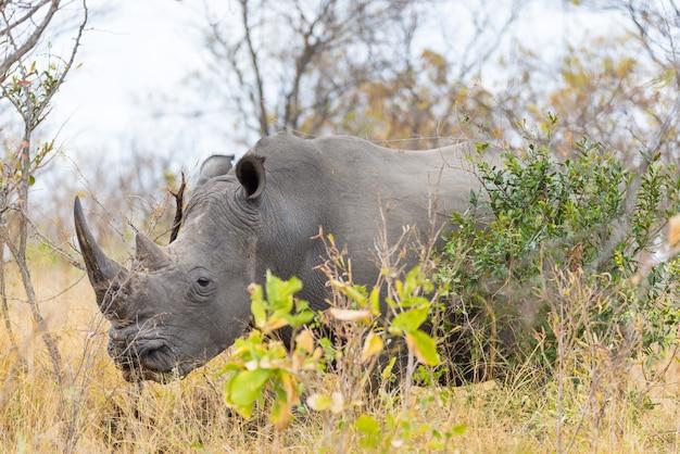 Fine e ritratto bianchi di rinoceronte con i dettagli delle corna