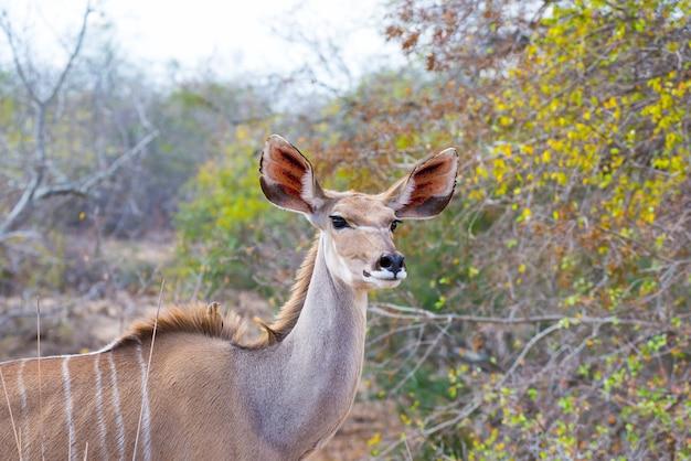Fine e ritratto eleganti svegli della testa della femmina di kudu