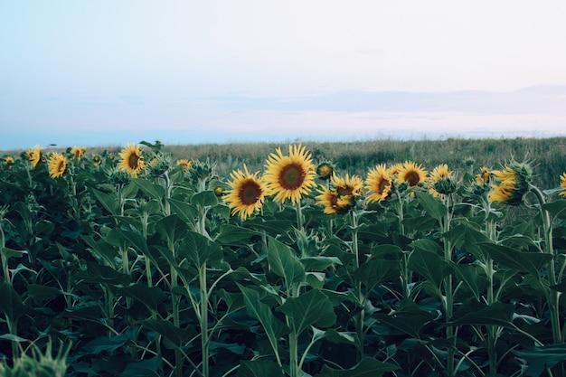 Fine naturale del germoglio di giallo del campo del girasole su sfondo naturale