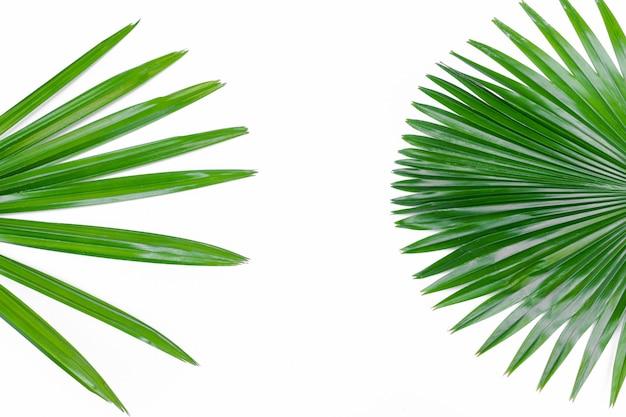 Fine verde della foglia di palma di signora su isolata su bianco