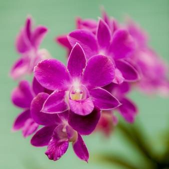 Fine viola del fiore delle orchidee in su