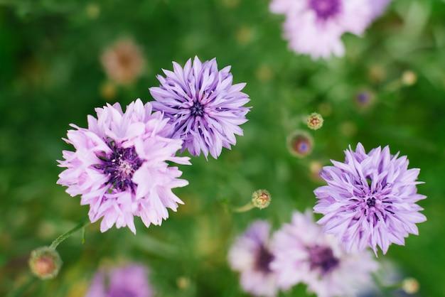 Fiordaliso dei fiori lilla su una fine verde del fondo su