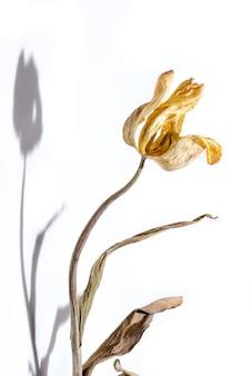 Fiore appassito fiore secco tulipano giallo su sfondo bianco con ombra.