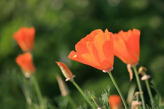 Fiore arancio del papavero sul fondo verde della natura