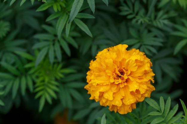 Fiore arancio del tagete in giardino, superficie verde con copyspace