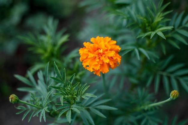 Fiore arancio del tagete in giardino