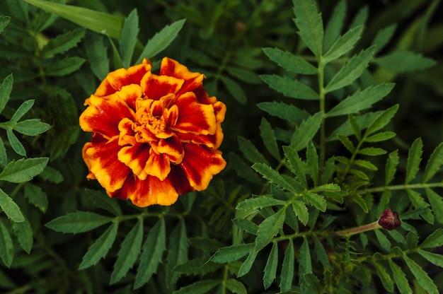 Fiore arancio del tagete su un fondo di erba verde della cima della vista.