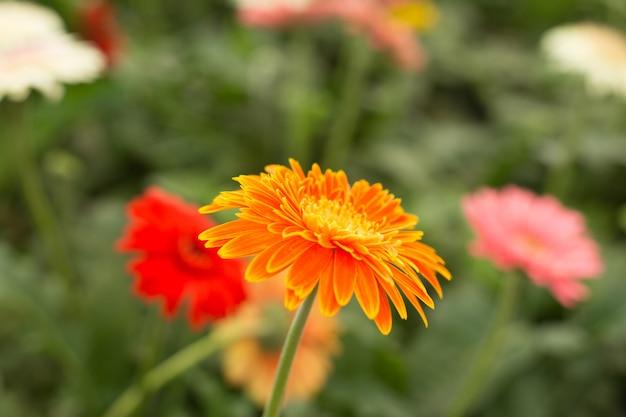 Fiore arancio della margherita della gerbera sulle foglie verdi della sfuocatura