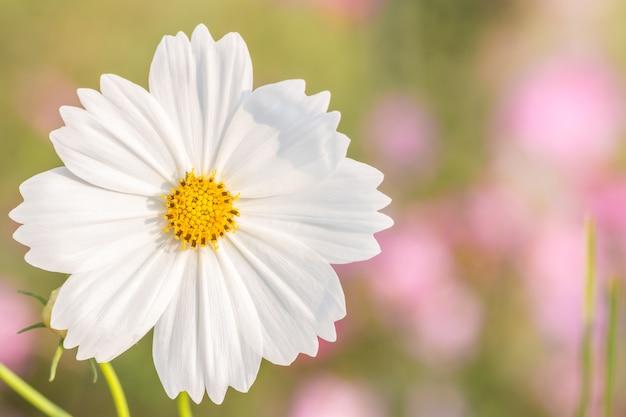 Fiore bianco, cosmo.