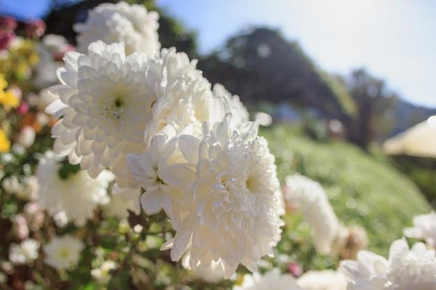Fiore bianco del primo piano con sole in inverno