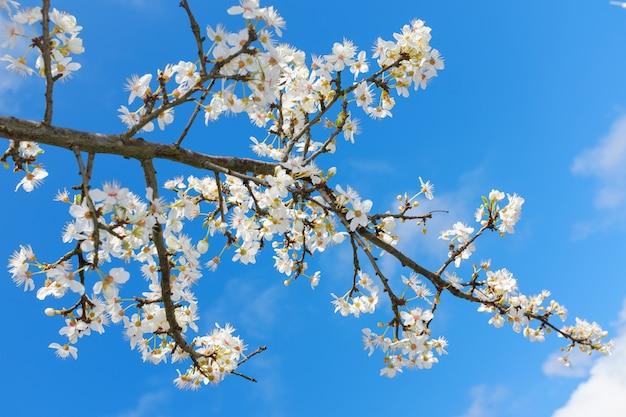 Fiore bianco della primavera contro cielo blu