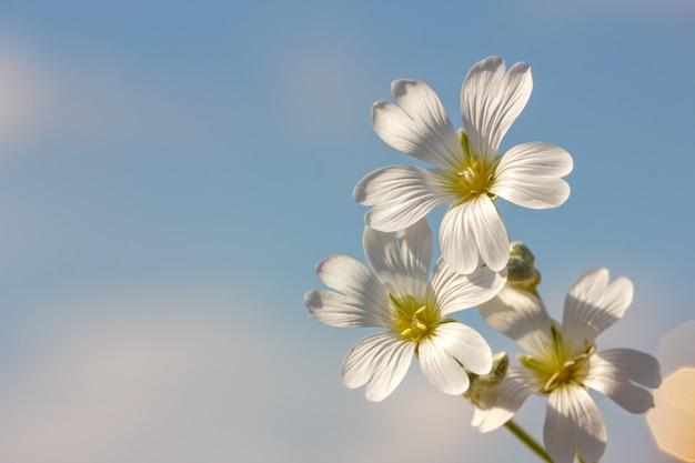 Fiore bianco della sorgente su una priorità bassa del cielo blu