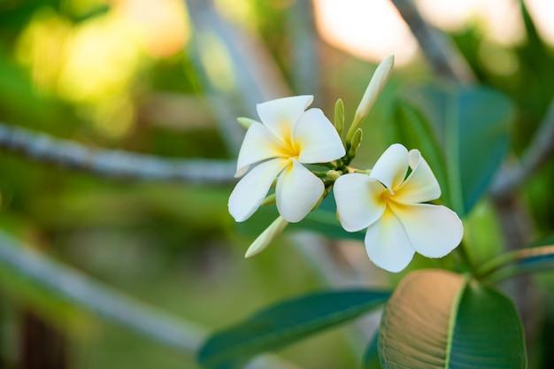 Fiore bianco di fioritura del frangipane in un giardino tropicale
