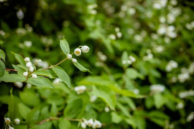 Fiore bianco di legno di noce andamano, bosso di chanese, albero di corteccia cosmetico, gelsomino di arancia, jessamina di arancia, legno di raso murraya paniculata jack nel giardino fiorito. bellissimo ramo fiorito di gelsomino