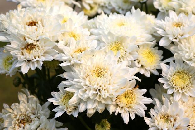 Fiore bianco-giallo della gerbera